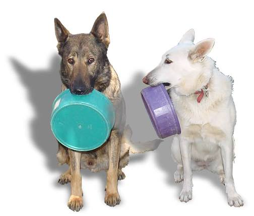2 German Shepherd dogs holding food bowls.