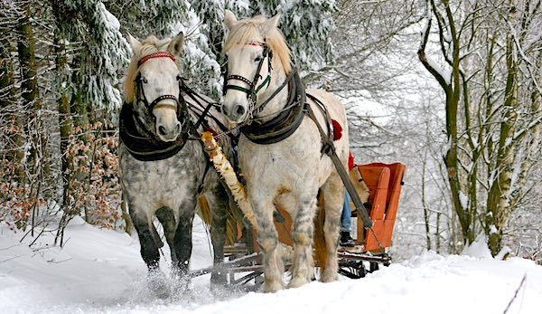 The teamwork of horsepower. Two white horses pulling a sled in the snow.