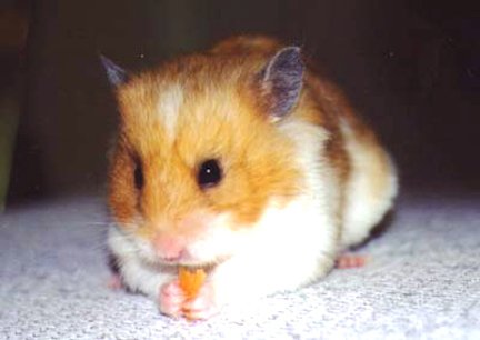A hamster nibbling on a piece of food.